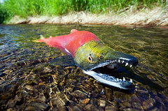 A male spawning salmon in Hanson Creek struggles to make his way up stream to the nesting females. Photo by Nick Hall